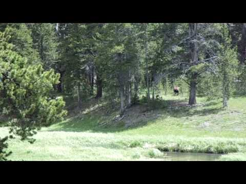 Grizzly at campground at Yellowstone Park