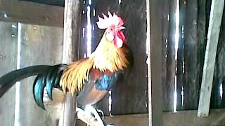 Video ayam pikat,bulu kuning,,,kokok tarikk,,, download MP3, 3GP, MP4, WEBM, AVI, FLV Juni 2018