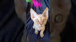 Котенок девон рекс 3 месяца -  рыжая