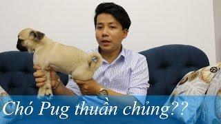 Pugk vlog 4: Chó Pug thuần chủng??