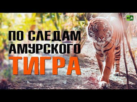 По следам амурского тигра (ПРЕМЬЕРА)