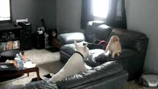 Bull Terrier Vs. Cat    Max Vs Rduy