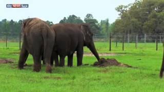 الأسباب التي تجعل الفيلة تقاوم السرطان