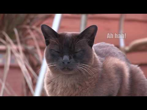 Monty the Brown Burmese Cat