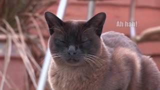 Monty the Brown Burmese Cat
