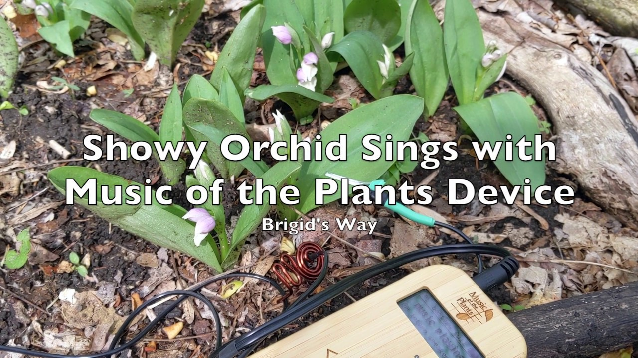 Showy Orchid Sings With Music Of The Plants Device Youtube