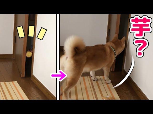 柴犬小春 【LOVE MOM】お母さんがこっそりお芋さんを持って来たヨw