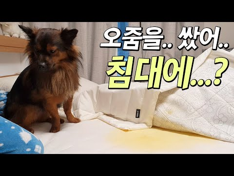 강아지가 침대에 오줌을 쌌어요.. ㅠㅠㅜ
