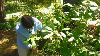 Maintaining & Pruning Shrubs : Rhododendron Planting Tips