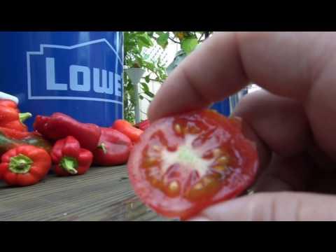 ➩ Tigerella - Tomato taste test STRIPED TOMATO!!!