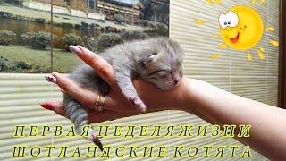 Первая неделя жизни Шотландских вислоухих котят. Как растут малыши интересное видео