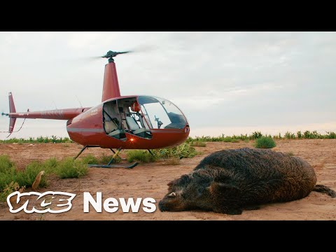 Feral Hogs Are Tearing Up Texas, So Tourists Are Shooting Them From Helicopters