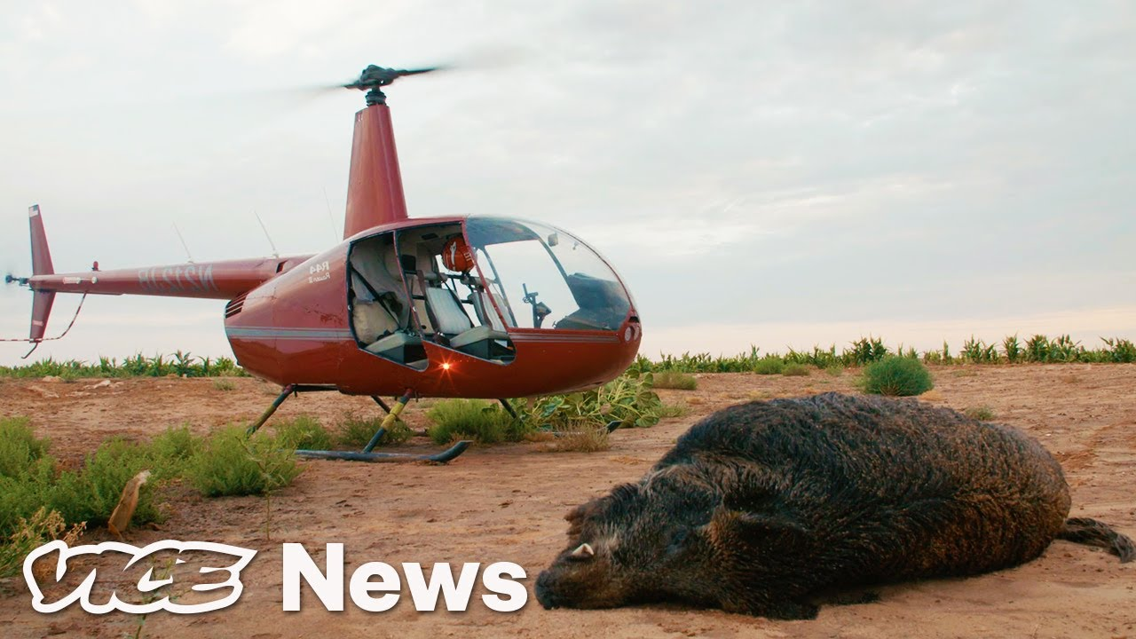 Download Feral Hogs Are Tearing Up Texas, So Tourists Are Shooting Them from Helicopters