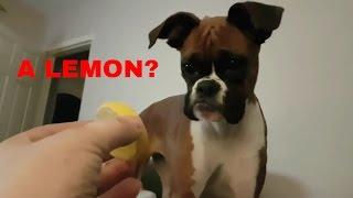 Boxer dog v Lemon