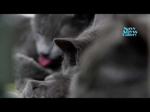 Russian Blue Breed Cats