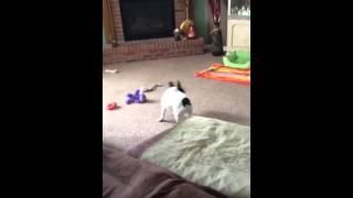 Romeo - A French Bulldog Village Foster Dog