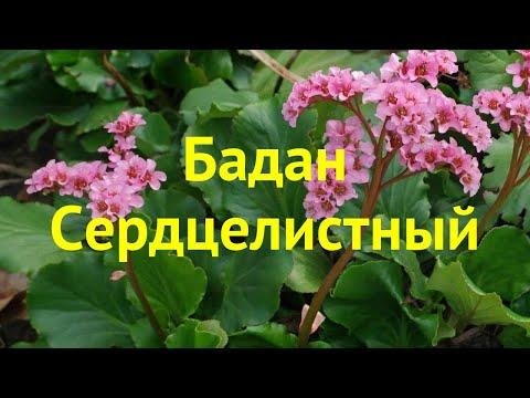 Бадан сердцелистный. Краткий обзор, описание характеристик, где купить саженцы bergenia cordifolia