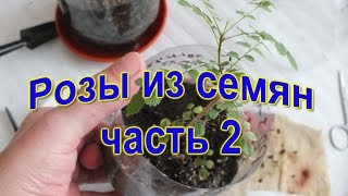 Как вырастить розу из семян часть 2 Китайские семена How to grow a rose from the seed part 2 Chinese