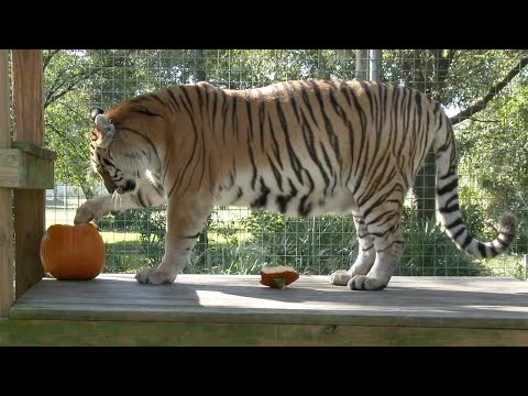 Big Cat Pumpkin Party