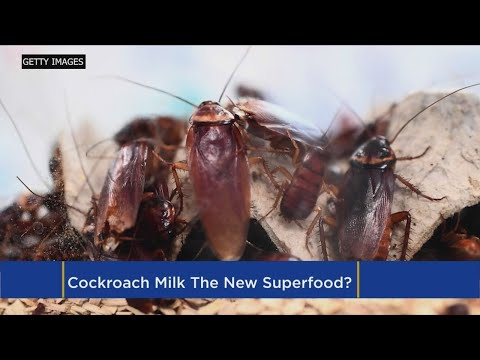 Cockroach Milk? Experts Call Insect Dairy The Next Superfood