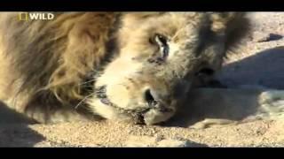 فيديو رهيب عن الموت... لحظة إحتضار وخروج روح الأسد.horrible video about lion death