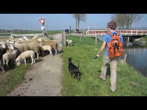 Chester the Manchester Terrier on agricultural inspection