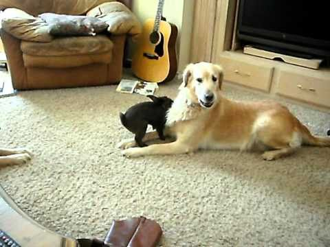 Bunny Rabbit Plays With Golden Retriever
