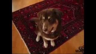 Husky / Lab Puppy Tricks