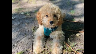 Pickle the 4 month old Cavapoo puppy - 5 Weeks Residential Dog Training