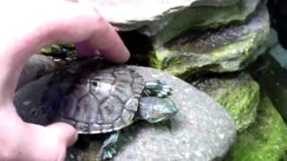 Черепаха красноухая содержание и уход!
