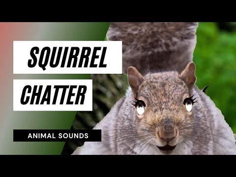 The Animal Sounds: Squirrel Chatter - Sound Effect - Animation