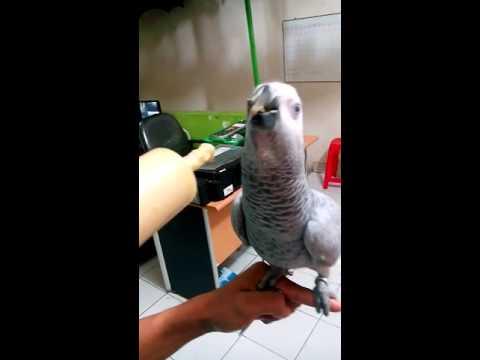 Anakan Burung African Grey