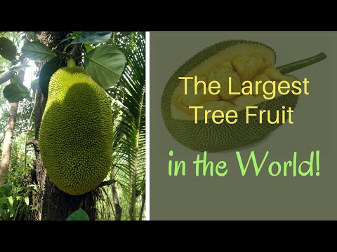 jackfruit largest tree borne fruit Get expert answers to your questions in fruit and more on researchgate, the professional network for scientists.