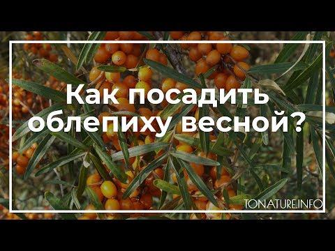 Вопрос: Через сколько времени ждать плодов облепихи, посадив саженец-двухлетку?