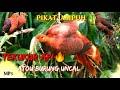 Suara Pikat Burung Uncal Atou Tekukur Api Terbaru  Mp3 - Mp4 Download