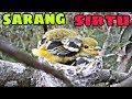 Sarang Burung Sirtu Cipu Di Alam Liar  Mp3 - Mp4 Download