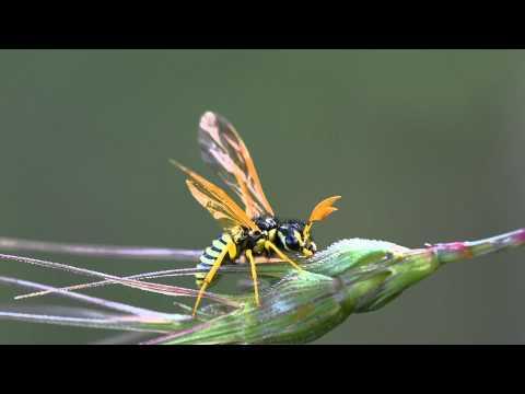Sawfly (Symphyta)