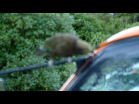 Franz Josef Glacier – Kea attempting to dismantle a car