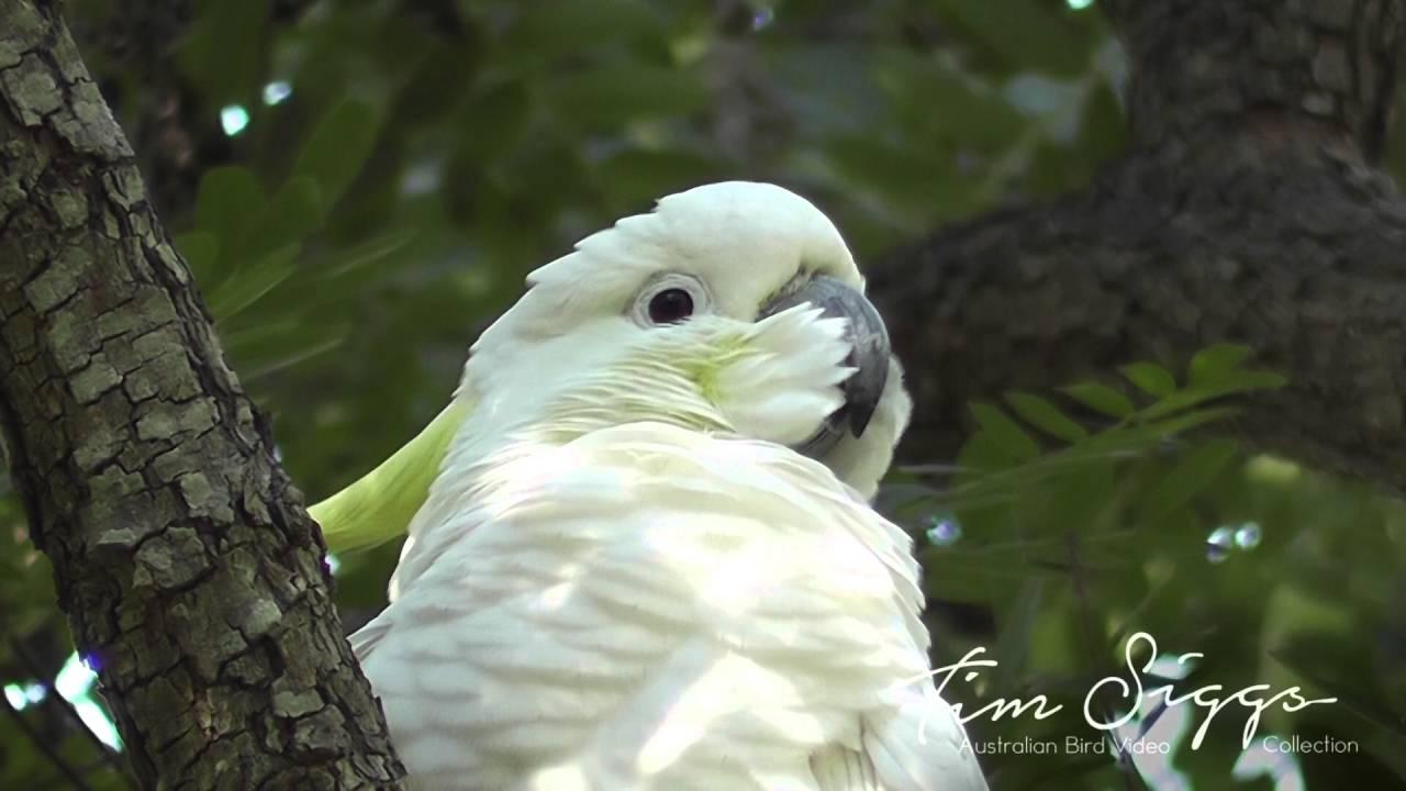 Австралийские попугаи учат друг друга воровать еду из мусорных баков