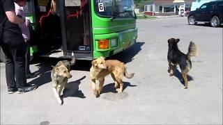 Водитель автобуса кормит бездомных собак