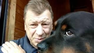 ВОСПИТАНИЕ И ДРЕССИРОВКА РОТВЕЙЛЕРА. Как гулять с щенком?