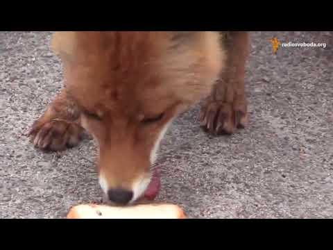 �Impresionante! Zorro se prepara un Sandwich