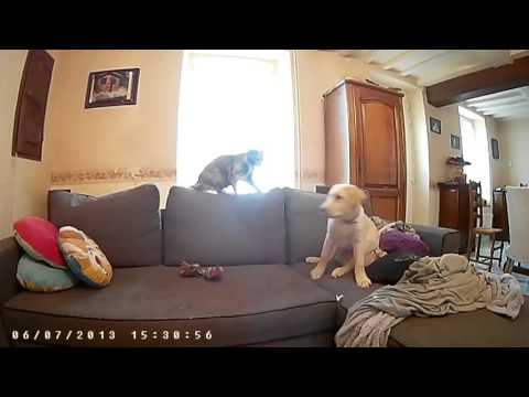 dog labrador vs cat