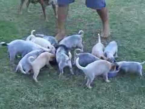 Filhotes de Australian Cattle Dog (Red Heeler e Blue Heeler)