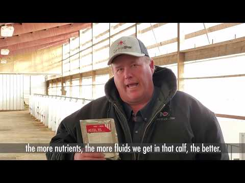 Accel RS aids in hydration and digestive health of calves
