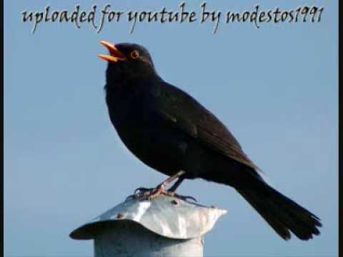 Blackbird Singing #3 - Mr Blackbird sings to his friends