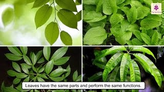 All About Plant Leaf   Types of Leaves   Photosynthesis   Science For Kids   Grade 4   Periwinkle