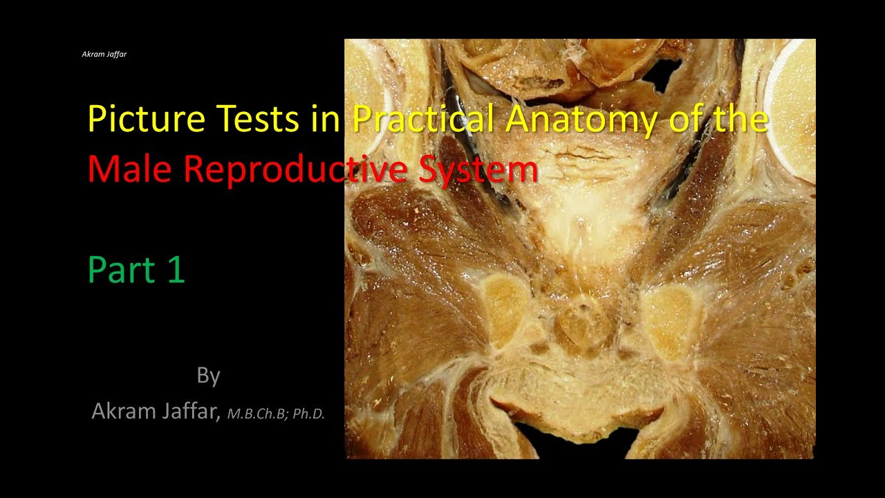 Picture tests in the anatomy of the male reproductive