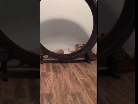 Bambino and Sphynx kitten on cat exercise wheel