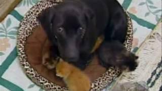 Burlington, Iowa Dog Raises Kittens